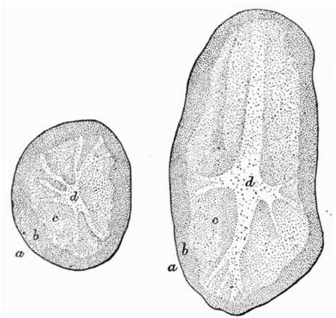 transverse section of skin botany physical and chemical composition potato part 2