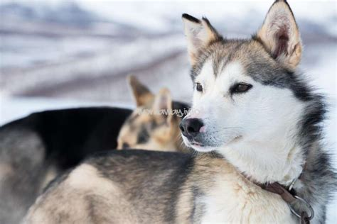 8 Care Tips For A Husky by Husky Experience Help On Our Husky Farm With Amazing