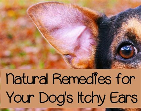 itchy ears home remedy itchy ears in dogs approaches to easing the itch dogvills