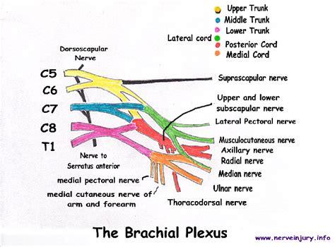 brachial plexus diagram t1 spine diagram t1 get free image about wiring diagram