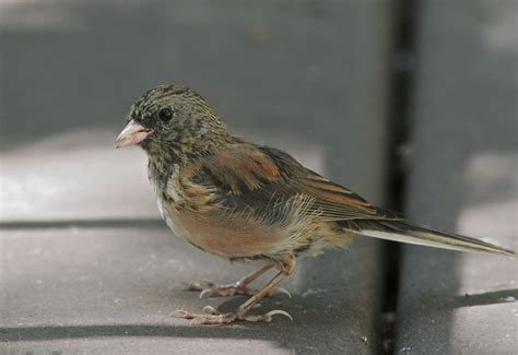 dark eyed junco juvenile photo tom grey photos at pbase com
