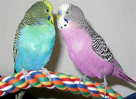 budgie colors pretty colored parakeets pretty bird