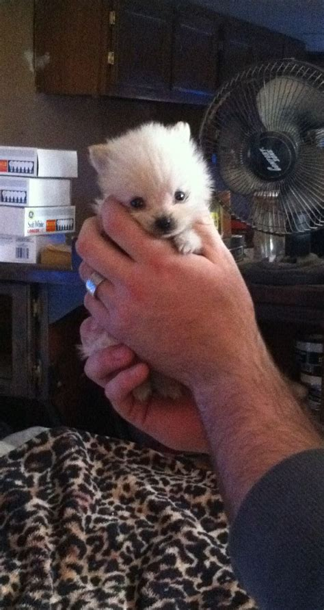 pomeranian puppies that look like pandas for sale 17 best images about on nails white pomeranian and a bunny