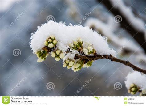 fiore neve fiore di ciliegia di neve fotografia stock immagine