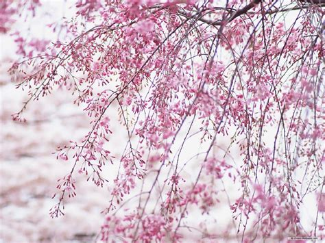 cherry blossom desktop wallpapers wallpaper cave cherry blossom desktop wallpapers wallpaper cave