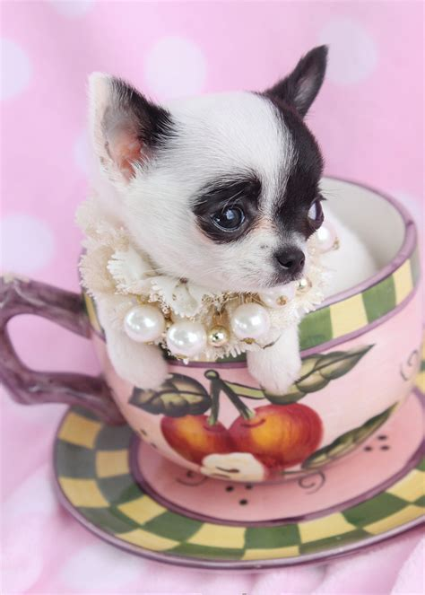 teacup for sale teacup chihuahua puppies for sale in houston autos post