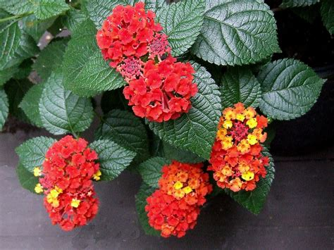 lantana colors flowers that change color plant