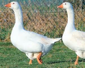 le canard et l oie