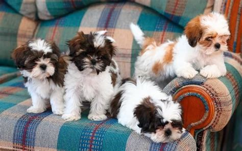 shih tzu family 14 reasons why shih tzus are the worst dogs