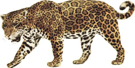 jaguar clipart best jaguar clipart 12737 clipartion