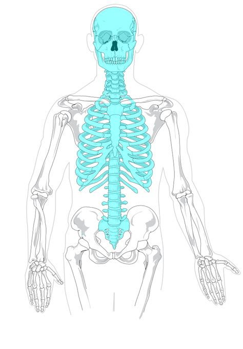 appendicular skeleton diagram file axial skeleton diagram blank svg wikimedia commons
