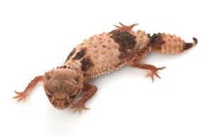 knob tailed geckos for sale australia