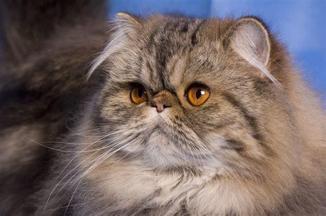 alimentazione gatto persiano persiano