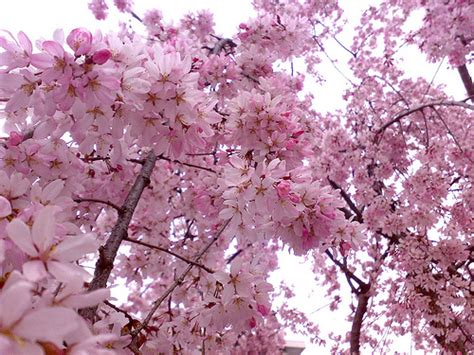 Romantic Flowers Cherry Blossom Flower Cherry Blossom Flower