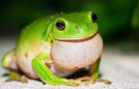 whites tree frog care