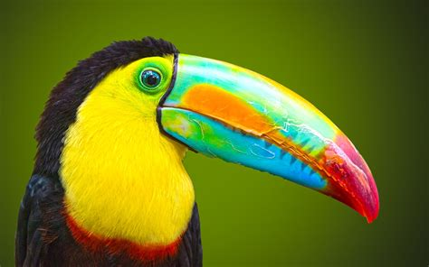 big beak beautiful bird wallpaper beautiful hd wallpaper
