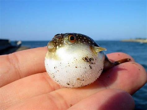 puffer fish 10 interesting puffer fish facts my interesting facts
