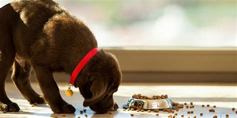 can dogs eat white rice why chocolate is bad for dogs hill s pet