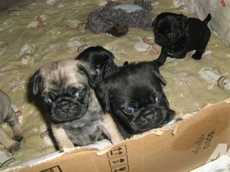 pug puppies in nc pug puppies for sale in hillsboro carolina classified americanlisted