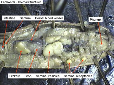 image gallery nephridia earthworm dissection