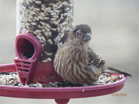 house finch eye disease eye disease in finches feederwatch