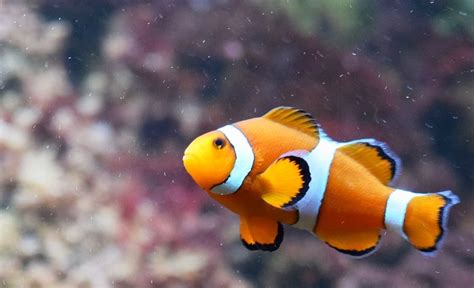 colored clown different colored clown fish www pixshark images