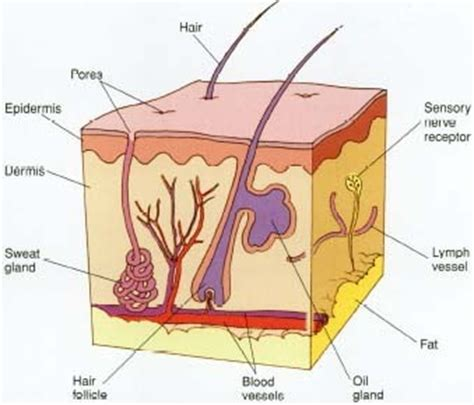 longitudinal section of the skin skin conditions body last viral causes