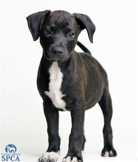 4 month pitbull puppy the american pitbull terrier puppies daily puppy breeds picture