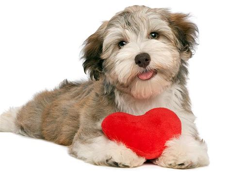pet valentines 10 reasons your makes the best s date