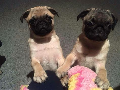 pug puppies for sale cornwall pug puppies penzance cornwall pets4homes