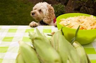 can dogs eat corn on the cob
