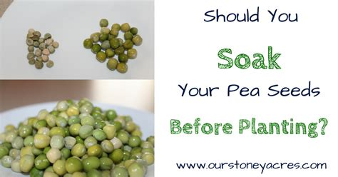 soak  pea seeds  planting stoney acres