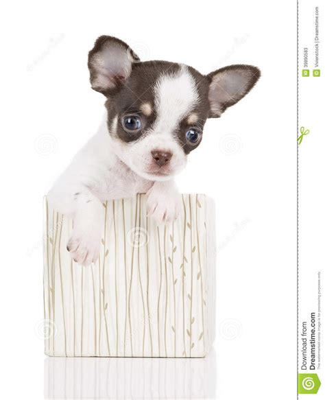puppy in a box chihuahua puppy in a box stock photo image 39890583