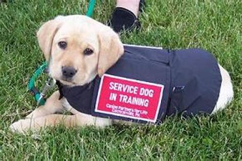 How To Train A Guide Dog For The Blind Dis Service Darwin Dogs