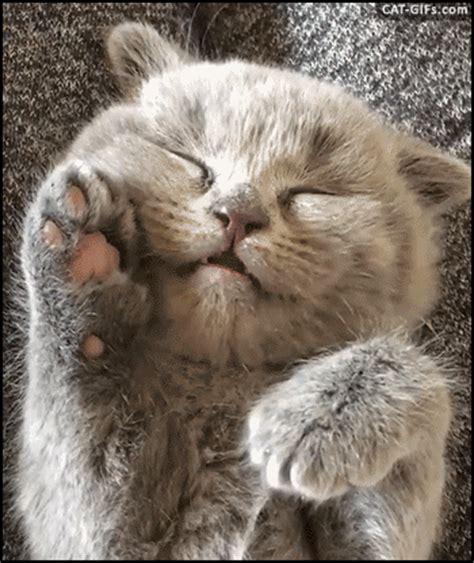 Cutest Cats Pet Pet Pet Product 8 by Puppy Gif Wifflegif