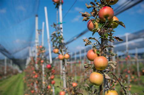 apfelbaum mehrere sorten apfelbume krankheiten die und vermehrung beim apfelbaum