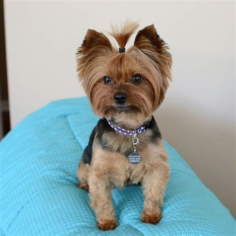 how to cut yorkie hair at home 158 best cutest yorkies images on pinterest
