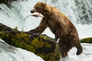Grizzly bear catching salmon photographer s adventures with grizzly