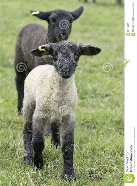 the l by lambs baby white black stock image image 29719781