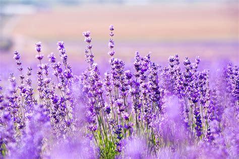gambar bunga lavender   indah kumpulan gambar