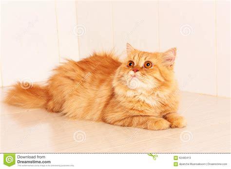 Cute orange persian cat stock image. Image of small