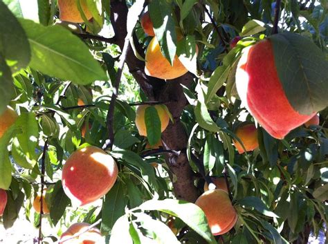 Peaches, the Fleeting Fruit   Healdsburg SHED