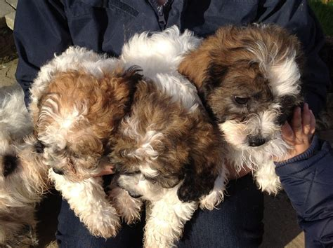 shih tzu x bichon puppies mix of shih tzu and bichon images
