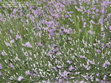 plantfiles pictures lavandula english lavender ellagance purple lavandula angustifolia by