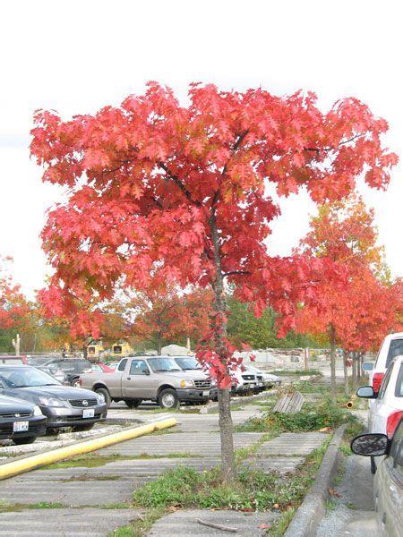 northern red oak quercus rubra  seattle oaks utah