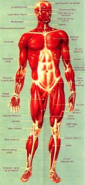 Fotos del cuerpo humano y sus organos newhairstylesformen2014 com