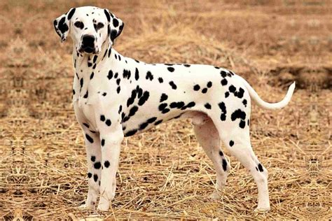 puppy dalmatian dalmatian puppies for adoption bazar