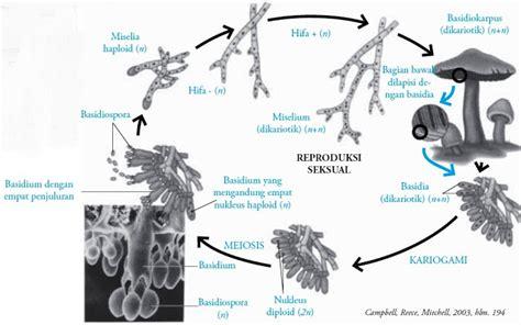 Lu Tidur Strawbery Dan Jamur divisi basidiomycotina fungi pengertian ciri ciri struktur sel reproduksi contoh