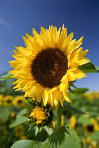 Names Of Types Of Flowers - helianthus annuus common sunflower rhs gardening
