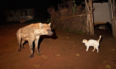 hyena cat or addis ababa and its hyenas a and peaceful history cities the guardian